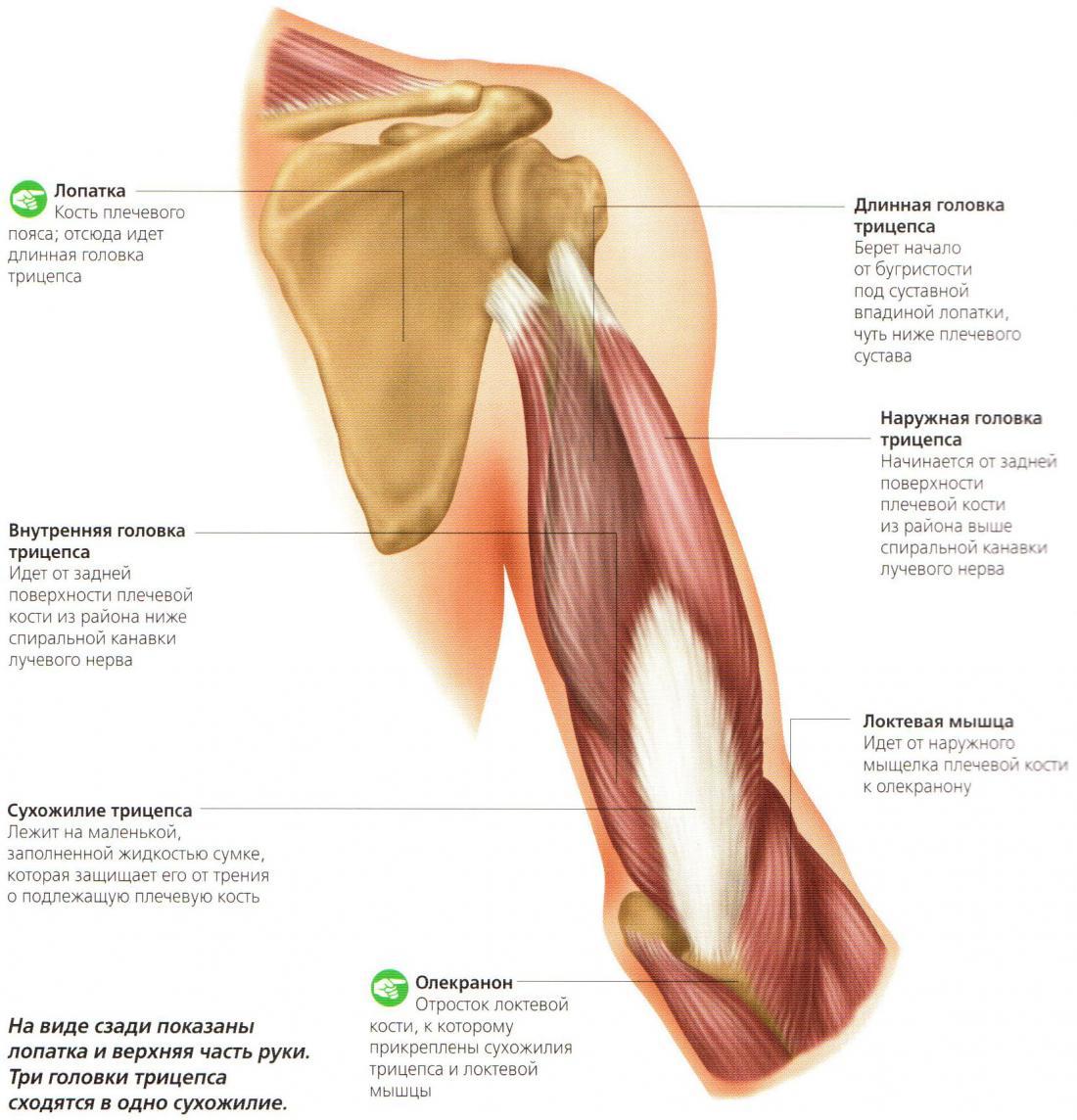 Мышца плечевая